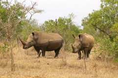 Południowi afrykańscy zwierzęta Zdjęcia Royalty Free