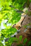 Biała wiewiórka w dzikim Zdjęcia Royalty Free