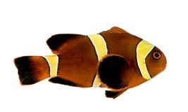 Biaculeatus del marrón Clownfish - de Premnas de la raya del oro Foto de archivo
