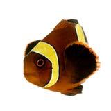 Biaculeatus del marrón Clownfish - de Premnas de la raya del oro Fotos de archivo libres de regalías