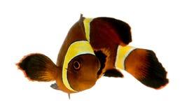 Biaculeatus di marrone rossiccio Clownfish - di Premnas della banda dell'oro Fotografie Stock