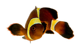 Biaculeatus do marrom Clownfish - do Premnas da listra do ouro Fotos de Stock
