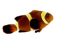 Biaculeatus do marrom Clownfish - do Premnas da listra do ouro Fotografia de Stock Royalty Free