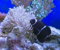 Biaculeatus Premnas клоуна Moorish Стоковая Фотография RF