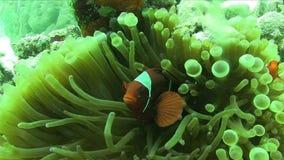 Biaculeatus van Spinecheek anemonefish Premnas in quadricolor van Anemone Entacmaea van de Boltentakel van Raja Ampat stock footage