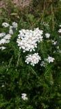 białe kwiaty Obrazy Royalty Free
