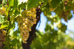 białego wina winogrona Zdjęcia Royalty Free