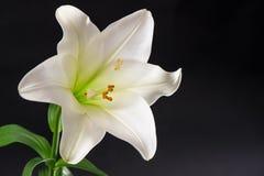 Białej lelui kwiatu okwitnięcie nad czarnym tłem Kondolencje karta Zdjęcia Stock