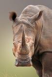 Białej nosorożec portret Fotografia Royalty Free