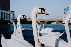 Biali łabędź pływa na Alster rzecznym kanałowym pobliskim urzędzie miasta w Hamburg Fotografia Stock