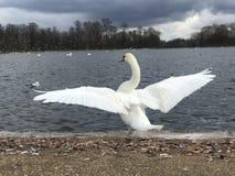 Biali łabędzi otwarć skrzydła zdjęcie royalty free