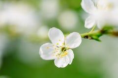 Biali Śliwkowego drzewa kwiaty fotografia stock