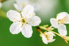 Biali Śliwkowego drzewa kwiaty obraz royalty free