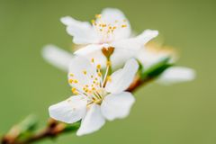 Biali Śliwkowego drzewa kwiaty zdjęcie stock