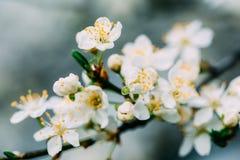 Biali Śliwkowego drzewa kwiaty obrazy royalty free