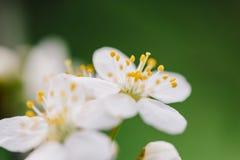 Biali Śliwkowego drzewa kwiaty obraz stock