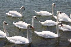 Biali łabędź Obrazy Royalty Free