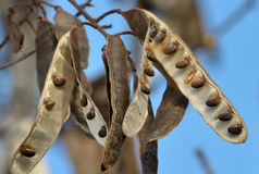 Biali akacja strąki z seeds_5 fotografia royalty free