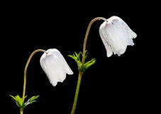 Biali Anemonowi coronaria kwiaty Fotografia Royalty Free