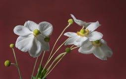 Biali anemony z zieleni i koloru żółtego centrami obrazy stock