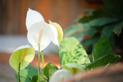 Biali Anthurium kwiaty Obraz Stock