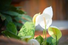 Biali Anthurium kwiaty Zdjęcie Royalty Free