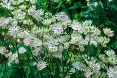 Biali Astrantia kwiaty Zdjęcia Stock