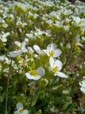 Biali aubrieta kwiaty Obraz Stock
