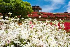 Biali azalia kwiaty zdjęcie stock