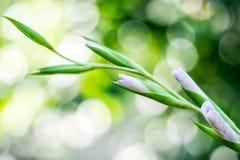 Biali błękitni kwiaty gladiolusy, bokeh obraz stock