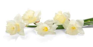 Biali barwioni daffodil kwiaty Obraz Royalty Free