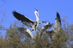 Biali bociany ptasi Obrazy Stock