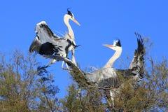 Biali bociany ptasi Fotografia Royalty Free