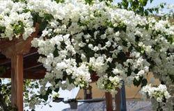 Biali bougainvillea kwiaty Zdjęcie Royalty Free