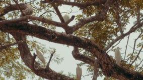 Biali bydło egrets w drzewie zbiory