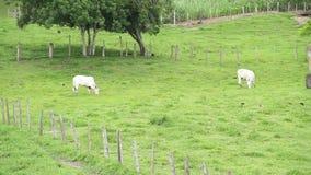 Biali byki przy polem zbiory