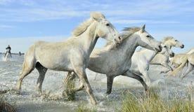 Biali Camargue konie galopujący Obraz Royalty Free