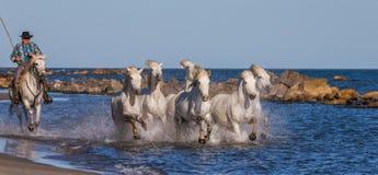 Biali Camargue konie galopujący wzdłuż morza wyrzucać na brzeg Zdjęcia Stock