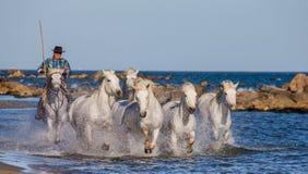 Biali Camargue konie galopujący wzdłuż morza wyrzucać na brzeg Obraz Royalty Free
