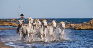 Biali Camargue konie galopujący wzdłuż morza wyrzucać na brzeg Obrazy Royalty Free