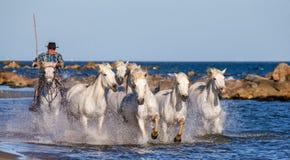 Biali Camargue konie galopujący wzdłuż morza wyrzucać na brzeg Fotografia Royalty Free
