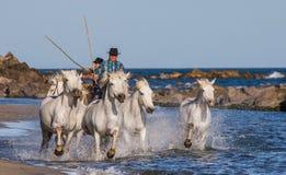 Biali Camargue konie galopujący wzdłuż morza wyrzucać na brzeg Obrazy Stock