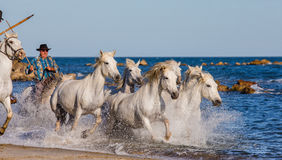 Biali Camargue konie galopujący wzdłuż morza wyrzucać na brzeg Zdjęcie Stock