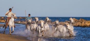 Biali Camargue konie galopujący wzdłuż morza wyrzucać na brzeg Obraz Stock
