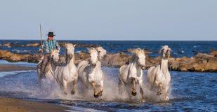 Biali Camargue konie galopujący wzdłuż morza wyrzucać na brzeg Fotografia Stock