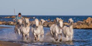 Biali Camargue konie galopujący wzdłuż morza wyrzucać na brzeg Zdjęcia Royalty Free