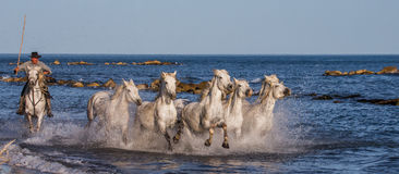 Biali Camargue konie galopujący wzdłuż morza wyrzucać na brzeg Zdjęcie Royalty Free