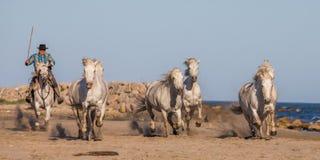 Biali Camargue konie galopujący na piasku Obraz Royalty Free