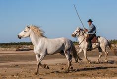 Biali Camargue konie galopujący na piasku Zdjęcie Stock