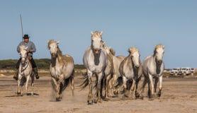 Biali Camargue konie galopujący na piasku Zdjęcia Royalty Free